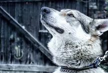 Ares Czechoslovakian Wolfdog / Czechoslovakian wolfdog Ares