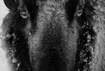 Wool & Sheep & får & ull
