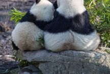 Panda ailesi
