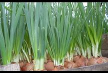 Выращивание лука в дом.условиях