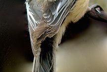 Chickadee Reference
