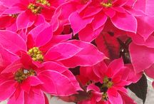 Holiday Flowers & Plants / Learn more about Holiday Flowers & Plants http://www.bloomingsecrets.com/blog/holiday-flowers-and-plants