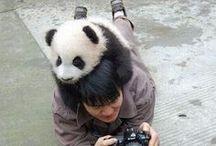 Urși Panda