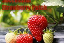 strawberrys um / by carol clark