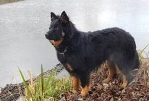 Chodský pes + náš Alexander Zefivera / plemeno Chodský pes