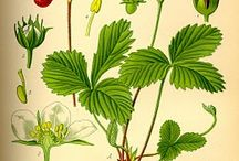 horticultural illustration