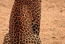 Tyger tyger / African leopard, Panthera pardus