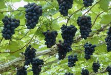 grapes and vines
