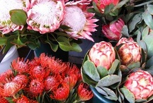 Protea.flower