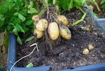Potatoes in containers