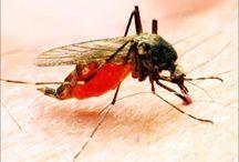 chikungunya news