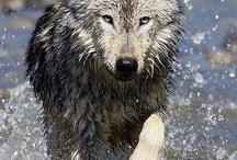 Волки лесные стражи