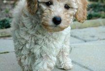 teddy bear puppy