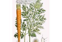 Plantes et fruits sauvages comestibles / Tout sur les plantes sauvages comestibles...