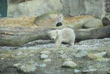 Eisbärbaby Lili / Eisbärbaby Lili darf seit April 2016 sehr zu Freude der Zoogäste in Bremerhaven draußen spielen. Nach Lale ist Lili die zweite Tochter, die Valeska im Zoo am Meer zur Welt gebracht hat.