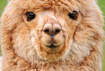 Chubby_Alpaca