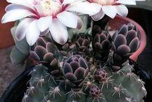 ♡ Kaktusky .... :) ♡
