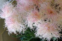 хризантема.м