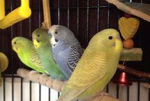 Parakeet / All about parakeets.