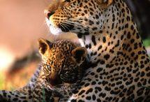Levhart+jaguár