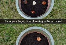 Tulips planting