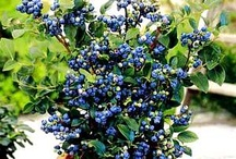 Blueberry brush