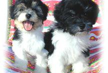 Best breed ever! / Malagasy Coton de Tulear