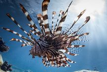 Majestic Lion fish