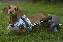 """Frankie the Walk 'N Roll Dog / """"Frankie the Walk 'N Roll Dog"""" a true children's book about a dog whose life started out just like any other dog walking on all four paws until she was diagnosed with Intervertebral Disc Disease which leaves her paralyzed. Frankie is custom fit for a doggie wheelchair & learns to keep on rolling. Her zest for life will have you cheering. Frankie's stories touch the hearts of young & old as she teaches us how a challenge can become a stepping stone to something more meaningful. www.joyfulpaws.com"""