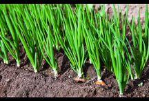 Огород. Зелень, лук,чеснок.