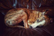 Greyhounds / Aspirational images