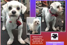 Maltese Grooming / Groomed at The UpScale Tail, Pet Grooming Salon, Naperville, IL www.theupscaletail.com