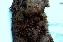 Cockerpoo / Dogs, puppy, Cockerpoo, spoodle,
