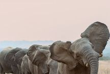 Elephants / Beauty of an Elephant