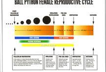 Python Breeding