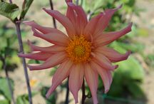 Dahlia varieties / Just a sample of some of the delightful dahlias we grow at The Sussex Flower Farm