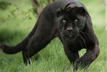 jaguare und panther
