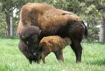 Buffalo / by Rebecca Raney