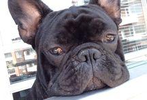 My wonderful dog / Storm the frenchie my lovely French bulldog.