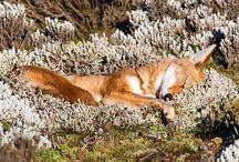 Füchse und Wölfe