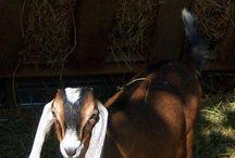 Ged / Opdræt af geder