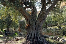 carmen olijfboom
