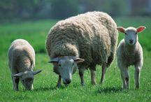 ANIMAL • Sheep