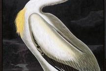 Pelican Paintings