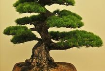 bonsai for balcony