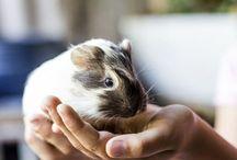 GUINEA PIGS FOR KEANNAN