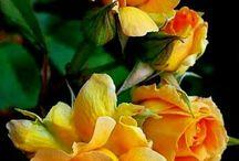 Sárga rózsa Csoport