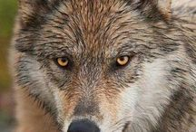 Wolves and wolf hybrids
