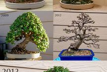 BONSAİ TREE