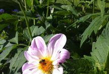 June flowers / Flowers in my garden in June